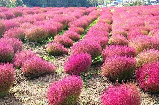 ひるがの高原のコキアパークへ行ってきました。<br />*コキアは真っ赤に色づいていましたが,コキア畑はあまり広くありませんでした<br />