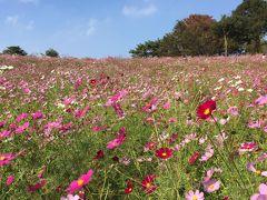午後からのコスモスin昭和記念公園