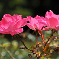 続・鎌倉四季物語【10月】〜薔薇咲く鎌倉文学館〜
