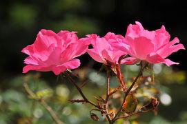 続・鎌倉四季物語【10月】~薔薇咲く鎌倉文学館~