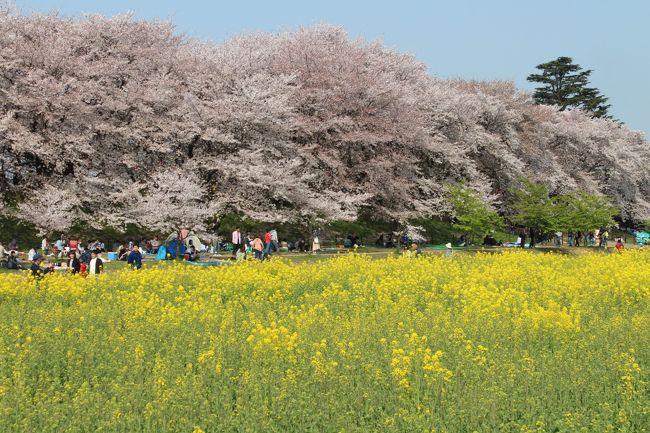 ここ数年、花見の季節になると行きたいと思っていた埼玉県の権現堂堤。<br />休日と開花時期がぴったりあったので早起きしていってきました。<br />