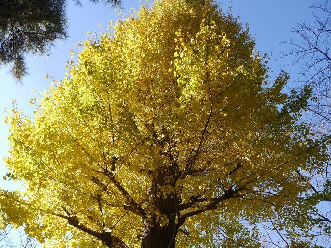 国立にある一橋大学。11月23日から3日間、一橋祭が行われています。23日には山本昌の講演会。それを目的に一橋大学へ。国立駅前の大学通りの紅葉もいい感じになってきました。