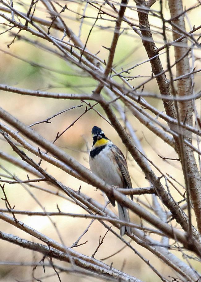 どうしても押さえたい冬鳥の一つがミヤマホオジロ<br />例年やってくるポイントに行ってみました<br />その後はパッとしない探鳥活動になっています<br />