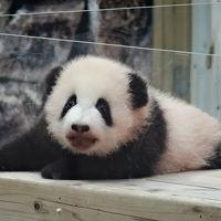 パンダの赤ちゃんと会いにアドベンチャーワールドへ
