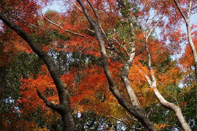 今回の二日間の旅のメインは、明日の花祭り。そうすると一日目はどこを回ろうかと考えて。思いついたのが名古屋から犬山の間の江南・岩倉エリア。ちょっとディープな尾張を探索してみることにしてみました。ただ、それだけではもったいないので、犬山紅葉の名所、寂光院も組み合せれば、これなら立派な内容。例によって、押せ押せの一日となりましたが、意外な見どころにも巡り会って、愛知県を理解するまた新たな分野が開けたような気がします。<br /><br />始めの寂光院は、犬山周辺だけではなく愛知県でも指折りの紅葉の名所。犬山遊園駅から川沿いの道を20分ほど歩いて訪ねました。<br />白雉5年(654年)に孝徳天皇の勅願により建立されたという古刹ですが、参道の石段はまだ新しさも残る感じ。きちんと整備されていて、これなら安心です。その石段に覆いかぶさるように枝を伸ばした紅葉が見事。途中途中で立ち止まりながら、その美しさを楽しみます。枝は高い場所で交差していて、参道の空間は紅葉に包まれたような独特の感覚がありました。また、七福神や赤い帽子やよだれ掛けをした石仏が迎えてくれるもの一興です。<br /><br />その後は、江南・岩倉エリア。蜂須賀小六、堀尾吉晴、山之内一豊といった名だたる戦国大名を輩出した地域なので、もう少し有名になってもいいような気もしますが、なんといっても、愛知県は織田信長に秀吉、徳川家康の三人の圧倒的な天下人を出した県。やっぱり影が薄くなってもやむを得ないかもしれません。<br />