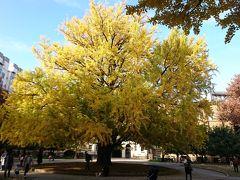 東京大学の銀杏の木