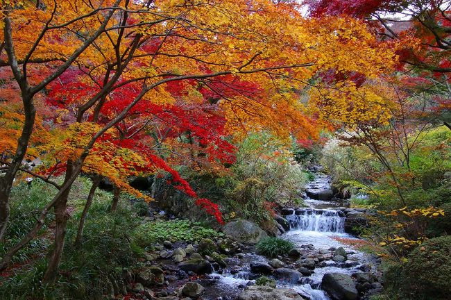 暖かな秋が足早に過ぎ去って12月に入りました<br /><br />熱海梅園の紅葉は伊豆地方では一番遅い紅葉です<br /><br />そう、LAST紅葉です!<br /><br />昨日は曇り空でしたが、休日で沢山の観光客で賑わっていました!!<br /><br />熱海梅園の紅葉と来宮神社を楽しんできました!