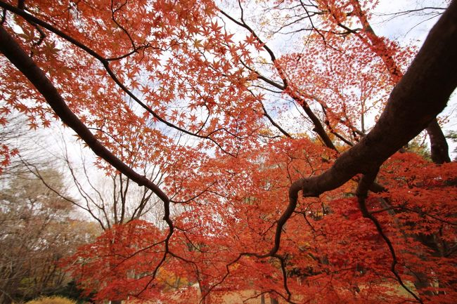 先週の11月第3週目の北海道旅行ではほんのり雪景色を味わってきましたが、帰宅したらまだまだ紅葉季節!<br />今年2018年は暖冬だからか、北海道でも初雪が遅れたようですが、わが生活圏の埼玉や東京の紅葉も大幅に遅れて長引きました。<br />おかげで、例年なら北海道から帰ったあとの週末、森林公園の紅葉見頃はとっくに過ぎていたはずですか、ぎりぎり間に合いました!<br />東京はもっと紅葉が遅いので、新宿御苑なら今年はもっと余裕で間に合ったかもしれませんが、今年から森林公園も我が家から車で運転して行けるようになりました。その意味でも、ちょっくらドライブと合わせた撮影散策の方がしたい気分でした。<br /><br />とはいえ、紅葉撮影散策になによりもほしかった日差しには恵まれませんでした。<br />この週末、土曜日であれば1日晴天で、もっと美しい色合いの紅葉が愛でられたでしょう。<br />でも時間を作れたのは、週末の用件を日曜日の午後にずらしたその前まで。<br />その用件は自宅から車で30分。森林公園はそこからさらに30分車を走らせればよいので、いっぺんに出掛けるのは好都合でしたが、日曜日、日差しが差し込んでいたのは、到着した後のほんの数分のみでした。<br />中央口前の広場から、森林公園の紅葉ハイライトのカエデ園に向かおうって時にはとっくに曇り空になってしまい、とても残念でした。<br />しかし曇天なら曇天で、少しハイキーにして、涼しげで、物悲しい雰囲気の紅葉写真が狙えます。<br />逆に、気分もカメラの設定もすっかり曇天モードで撮っていたため、カエテ園おわりごろにちょっとだけ雲間から日差しが差し込んだとき、いまさらもういいよ、という気持ちでした(笑)。<br /><br />それにしても、超広角レンズでファインダーの中で再構成された紅葉景色のすばらしかったこと!<br />あれだけ色付き、見頃だったからこそ、曇天でも十分感動できたわけです。<br />もちろん、いつもの広角ズームレンズでもズームしたり、広角でも歪みのない写真を撮りましたが、それはほとんどが、さんざん超広角レンズで撮ったあとだったので、かえって新鮮に見えました。<br />というわけで、久しぶりにレンズを換えることで見える景色の違いも堪能しました!<br /><br />時間にもう少し余裕があれば、マクロレンズを持参したところでした。この季節、花はぐんと少なくなりますが、マクロレンズで撮りたいと思った花がなかったわけでもないのです。<br />なんと、もうスミレが咲いていました。<br />一方で、園の外でしたが、まだコスモスも見かけました。<br />いつもよりちょっと遅いけど、晩秋らしい花たちも、まだまだきれいな状態で愛でることができました。<br />コウテイダリアや、その他のダリア、そして十月桜や子福桜です。<br /><br />ちなみに、この日は紅葉見ナイトのイルミネーションの最終日でした。<br />12月になって本格的なイルミネーションの季節になるため、森林公園でもイルミネーション自体が終わるわけではなく、スターライト・イルミネーションというクリスマス・バージョンに変わるだけす。<br />ただ、スターライト・イルミネーションになったとき、カエデ園のライトアップが残っているのかよく分からないです。<br />紅葉見ナイトのイルミネーションの方は、幸いにも北海道旅行に行く前に見られました。<br />そのときまだカエデ園では、紅葉はまだまだでした。そしてさすがにまだ緑の葉がたくさん残っている状態では、曇天でもあまり感動できなかったでしょう。<br />先にイルミネーションを見てから昼間の本格的な紅葉を見るという順番の逆転も、はじめから狙っていたわけではないですが、なかなか良かったと思います。<br /><br /><タイムメモ><br />09:30 家を出て車で向かう<br />10:25 民間駐車場に駐車<br />10:30 中央口から森林公園に入園<br />10:30-10:50 中央口前広場<br />11:05-11:20 水生植物の池<br />(十月桜と子福桜あり)<br />11:20-12:30 カエデ園<br />12:30-12:40 都市緑化植物園<br />(コウテイダリアあり)<br />12:40-12:55 クレープでひと休み<br />12:55 カエデ園を通って戻る<br />13:25 中央口前広場に到着<br />13:30 森林公園を出る<br /><br />森林公園の公式サイト<br />http://www.shinrinkoen.jp/<br /><br />※これまでの森林公