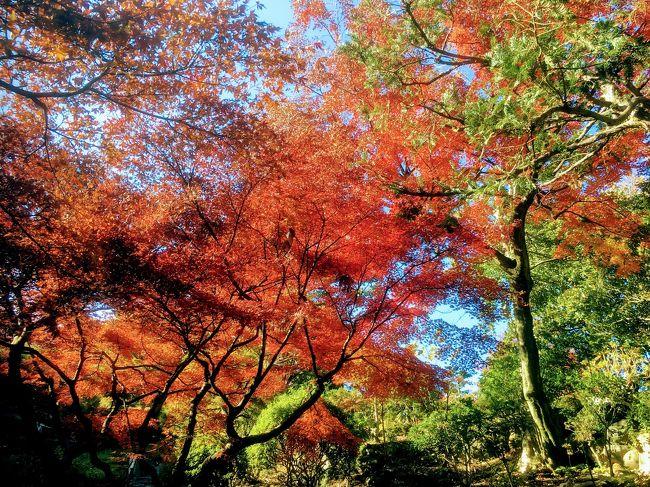 12月4日 所用で五反田に行きました。<br />その際に昼は池田山公園周辺で紅葉を堪能し、夕方は五反田から大崎にかけて冬場に開催される、みんなのイルミネーションを見てきました。<br /><br />池田山公園の紅葉は池の周りはほぼ終わってましたが、丘の上の紅葉はとても綺麗でした。<br /><br />その後、五反田周辺の神社仏閣を見て回り、夕方は目黒川のピンクのイルミネーションの、目黒川みんなのイルミネーションを見てきました。