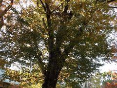 上野公園の銀杏の黄葉-2018年