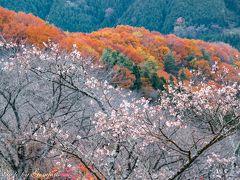 春?秋? 桜と紅葉のコラボレーション ~桜山公園~