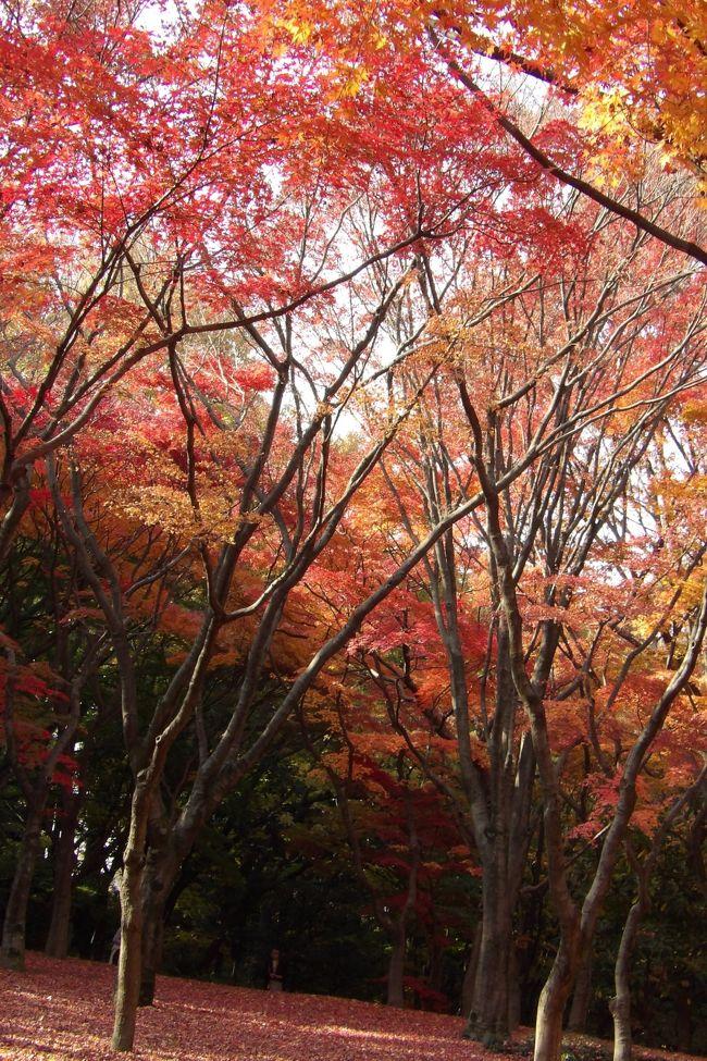 皇居乾門を出ると、道の向こうは北の丸公園である。帰ってから、「今日は都心でも最高気温が23.4℃」というのは、ここ北の丸公園で計測された温度(https://4travel.jp/travelogue/11308585)である。今年(2018年)の冬は木枯らし1号も吹かず、12月だというのに東京23区の練馬では夏日(25℃)を記録した。<br /> 北の丸公園のもみじは例年の美しさだ。塩害とは無縁だったので、カメラを構える人の何と多いことか。皇居乾通りにはない華やかさだ。<br /> 日本武道館前の銀杏も黄葉しているが塩害は受けなかったようだ。<br /> 日本武道館では欅坂46の若月祐美の卒業セレモニーがある。お昼はとっくに回っているのだが、弁当はまだだったので、田安門の上の弥生慰霊堂(https://4travel.jp/travelogue/11083837)で買ってきたおむすびを食べようと思ったのだが、今日はこの公演のために、神社入口は柵で閉鎖されている。神社の上からは武道館北口に入場する人の顔が見えるということで、押し掛けたファンがいて騒ぎになったことがあってこのような処置になっているのだという。仕方がないので、狛犬を挟んで係員の横でおにぎりを食べることを了承してもらい立食いでおにぎりをほうばった。弥生慰霊堂は警視庁や東京消防庁の殉職者を祀る慰霊施設である。時折、制服の警察官やOBと思われる年配の人が柵の横の隙間から入って行く。しかし、私には入場が許可されなかった。20代の若者で、背広姿ではあるが、入社後の年数が経っていないためにここの裏門に配置されているのだろう。愛想も良く、イケメンでもあったので、色々と話しをし、若者も暇潰しに付き合ってくれた。ここ武道館は1万人程度の収容人数であるが、坂道グループだとチケットは直ぐに完売するのだという。「東京ドームは3万人収容ですが、欅坂46なら埋まりますよ。」最近、9,000人だと言われていたのに7,000人しか入らなかったのでドタキャンしたかつての大スターがいたが、所謂、現在のアイドルの集客力は凄いものだ。その後、彼は交代となったが、またもや来たスーツ姿の若者もイケメンである。こうしたイベント関連の仕事をする会社にはイケメンの若者が入社しているのか?集客力があるタレントのコンサートを主催していればチケットも直ぐに完売するということで、会社がガッポガッポと儲かるハズだ。そう考えると入社希望者が多くなり、よりどりみどりで、結果イケメンを揃えられるということかと理解した。2人の若者のどちらにどの話をしたのかは判別できないが、日本ではガラケーとなってしまった理由から天皇陛下(当時は皇太子殿下)と皇后陛下(美智子さま)の出会い話まで、当事者しか知らない話(当事者だったり、当事者から聞いた話)をした。そして、3つ買ってきたおむすびを平らげてしまったので話は終わりにした。<br /> 北の丸公園駐車場の係員のように高圧でいちゃもんを付けてくる不快なやつにも出くわした(結局、もう一人の係員も来て2人が頭を下げて謝ってくれた)が、こうした若者たちにも出会えるのも北の丸公園の武道館のおかげか。下世話な言い方をすれば、乾門の中で出会う宮内庁職員や皇宮警察護衛官と乾門の外で出会う施設の職員や警視庁警察官とでは生まれや育ちが違うということだ。<br />(表紙写真は紅葉したもみじ林)