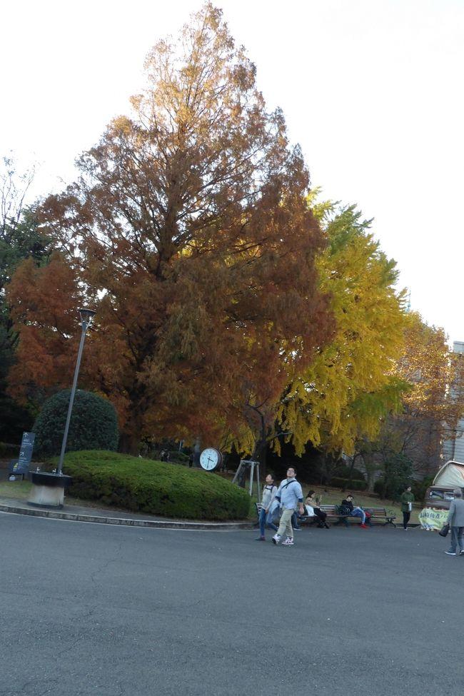 上野にある東京国立博物館(東博)の秋の日本庭園公開(https://4travel.jp/travelogue/11417905、https://4travel.jp/travelogue/11417923)(10月23日(火)~)は最終日の12月2日(日)に少し紅葉し始めた状態で閉園になってしまったと係員が言う。一方、皇居乾門通り通り一般公開はこの秋に開催されることは告知されていたが、紅葉の状態を確認しながらで、期日(平成30年12月1日(土)~12月9日(日))が発表されたのは平成30年11月12日である。結果、いづれも紅葉を楽しむ公開であろうが、たった2日しか重複した日がなかったのである。上野の山といっても何100mもの標高がある山ではない。紅葉の時期は大雑把に言えば一緒であろう。本質的には桜の開花や紅葉が遅れる場合には宮内庁では何日か延長した場合があるのに対し、東博ではそうしたことの配慮は一切ないことである。公開する目的を考えたら東博のやり方では納得できる人はいないだろう。<br /> 東博ではユリノキは完全に落葉していたが、表慶館横のメセタコイア、銀杏、プラタナスと黒門前のカイノキの紅葉・黄葉が見られた。<br />(表紙写真はマタセコイア、銀杏、プラタナスの木々の紅葉・黄葉)