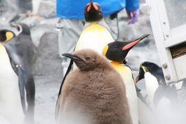 北海道レッサーパンダ遠征&温泉ホテルとグルメの旅(3)旭山動物園(中編)ぺんぎん館・あざらし館・ほっきょくぐま館~もぐもぐタイムがあった3館~チョコ色のもふもふキングペンギンの赤ちゃんにしびれる