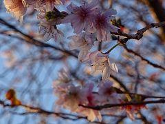 早朝散歩 瑞ヶ池公園の日の出と、十月桜を探して東野・大野・荻野地区を歩く その2。