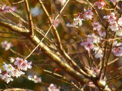 早朝散歩 瑞ヶ池公園の日の出と、十月桜を探して東野・大野・荻野地区を歩く その4完。