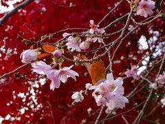 大阪池田市の紅葉・十月桜・ウォンバット(6) 池田城址公園の紅葉と十月桜 下巻。