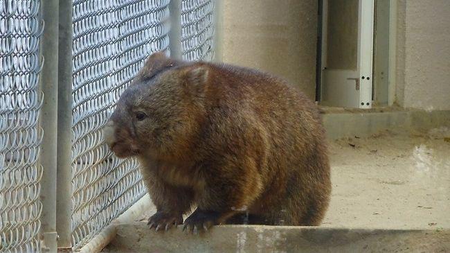 最後は、五月山動物園のウォンバットに会いに行ってから、帰宅しました。<br /><br />写真は、檻の中のウォンバット。