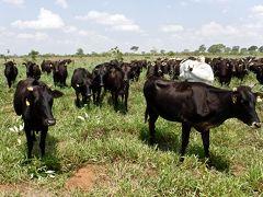 ブラジルの『和牛 Wagyu』生産現場を見に参る(カンポグランデ Camp Grande/マトグロッソ・ド・スゥ州 Mato Grosso do Sul/ブラジル)