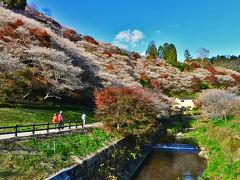 夢見心地で癒される絶景エリア・川見四季桜の里