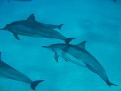 ハワイ島(23)ドルフィンスイム・野生のイルカと泳ぐ