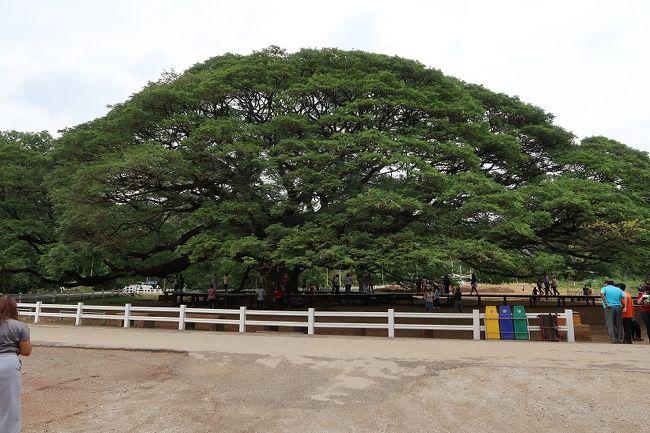 ジャイアント モンキー ポッド ツリー(Giant Monkey Pod Tree)<br /><br />♪<br />この木なんの木 気になる木<br /> 名前も知らない木ですから~<br /> 名前も知らない木になるでし ょう                                                   <br />♪<br />この木なんの木 気になる木<br /> 見たこともない木ですから~<br /> 見たこともない花が咲くでしょう~
