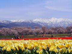 春の四重奏 雪山バックの桜とチューリップそして菜の花