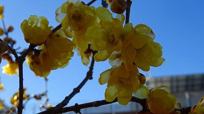 上巻からの続きです。<br /><br />写真は、瑞原の苗圃に咲く蝋梅の花。