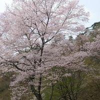 江戸彼岸桜を見に妙見山へ