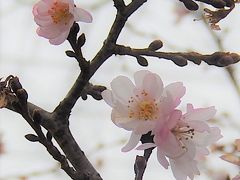 美しかった十月桜その後(1月12日観察)