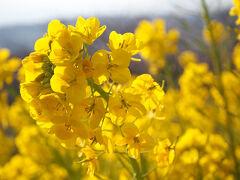 早咲きの菜の花