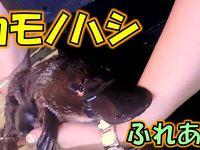 カモノハシを抱っこしにオーストラリア(ペンギンパレード・コアラ保育園)