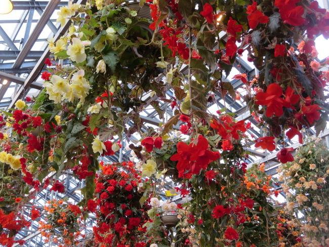 なばなの里には、4回程行きました。でも、ベゴニアガーデンには入って見た事ないです。<br />ベゴニアのお花は知ってます。その為見ようとは思わなかったのです。<br />母が前に見たけれどきれいだったと言ってたことを思い出し梅を見がてら<br />行きました。<br />ベゴニアカーデンに入ってびっくりしました。<br />とてもきれいでした。<br />梅を見るのが第1目的でしたが、梅より良かったです。<br /><br />近鉄電車で長島駅で降りましたが、バスも少なく1時間位待ちました。<br />イルミネーションは、見なかったです。