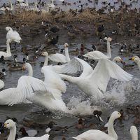 「白鳥の湖」瓢湖と新発田のお雑煮祭り