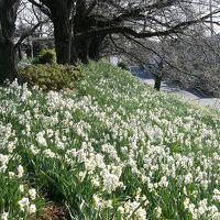 寒い冬に凛と咲く幸手権現堂公園の水仙まつり