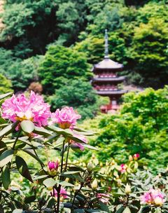 母 K子と行く京都と奈良 2008初夏 つつじ・石楠花・ぼたん・蓮華のお花見   京都詣でNo.10