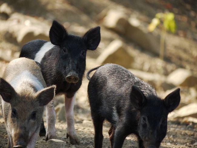 オルビエート近郊の観光地、チヴィタ・ディ・バーニョレージョ(Civita di Bagnoregio)で散策を楽しんだあと、<br />ウンブリアの奥深くへ。<br /><br />本日のお泊りは、トーディ近郊のアグリツーリズモ。<br />そこの広い敷地の中で、チンタセネーゼという珍しい種の豚が飼育されています。<br />アグリツーリズモも初めて宿泊。<br />