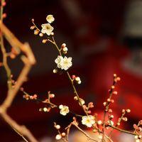 【鎌倉散歩】梅は咲いたが 桜はまだかいな?