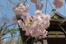 2018春、京都の花の名所巡り(3/15):3月31日(3):北野天満宮(3):八重紅枝垂れ桜、射干、連歌所の井戸、庭園、狛犬