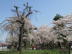 2018春、京都の花の名所巡り(5/15):3月31日(5):嵐山と天龍寺(1):枝垂れ桜、桂川、渡月橋、アオサギ、カワウ、カルガモ