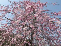 2018春、京都の花の名所巡り(6/15):3月31日(6):嵐山と天龍寺(2):八重紅枝垂れ桜、染井吉野、桂川、渡月橋、歩いて天龍寺へ