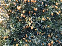 バレンシアオレンジだらけ