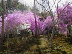 2018春、京都の花の名所巡り(12/15):3月31日(12):嵐山と天龍寺(8):白花・花蘇芳、幣辛夷、雪柳、三葉躑躅、勅使門、高麗門