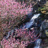早咲きの梅と桜のお花見に@熱海