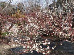 東端城址に早咲きの梅を見に行って来ました。