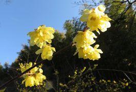 2019早春、名古屋市農業センターとその周辺の早春の花(1):ソシンロウバイ、水仙、花一輪の紅梅、三分咲の白梅、寒椿