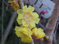 2019早春、名古屋市農業センターとその周辺の早春の花(3完):クロッカス、満月蝋梅、鹿児島紅、パンジー、街路樹の枝垂れ梅