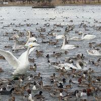 2019 冬の新潟 白鳥が飛来する瓢湖とおせんべい焼き体験