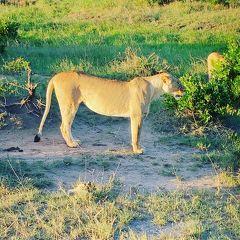 Nairobiから車で8時間マサイマラ国立保護区着いたぞー