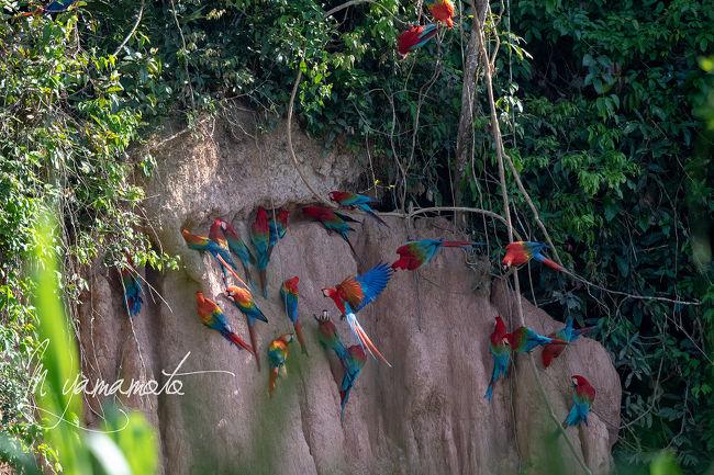 ペルー探鳥記(アマゾン探鳥後編)